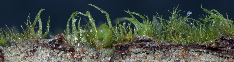 Ephemerum spinulosum