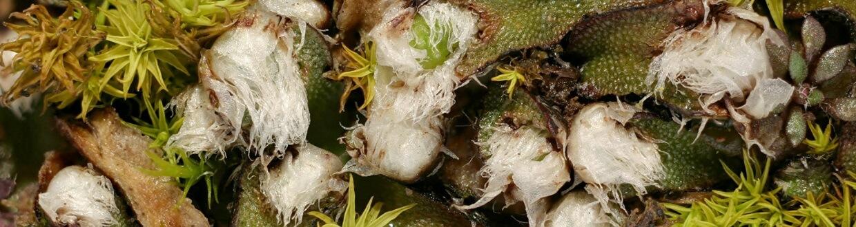 Mannia fragrans